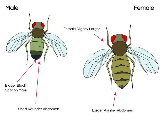 Fruit Fly Sex Differences