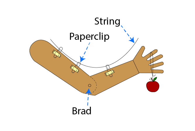 Completed Human Arm Model